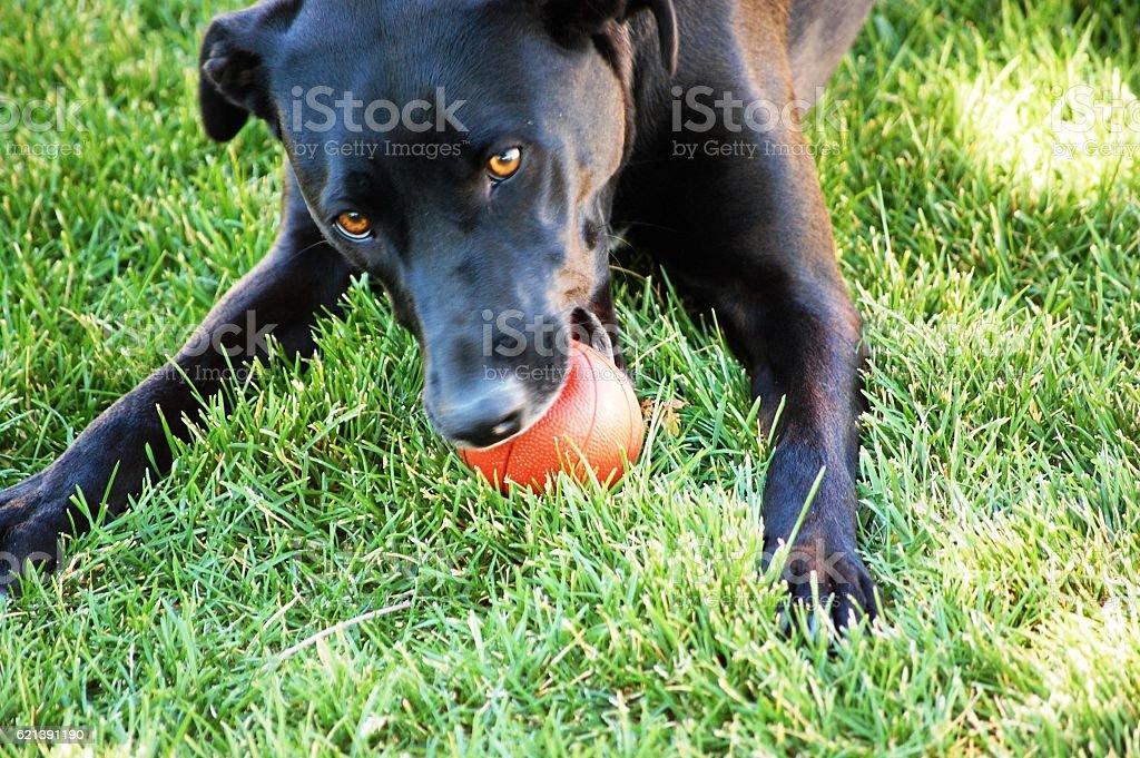 Dog playing mini basketball stock photo