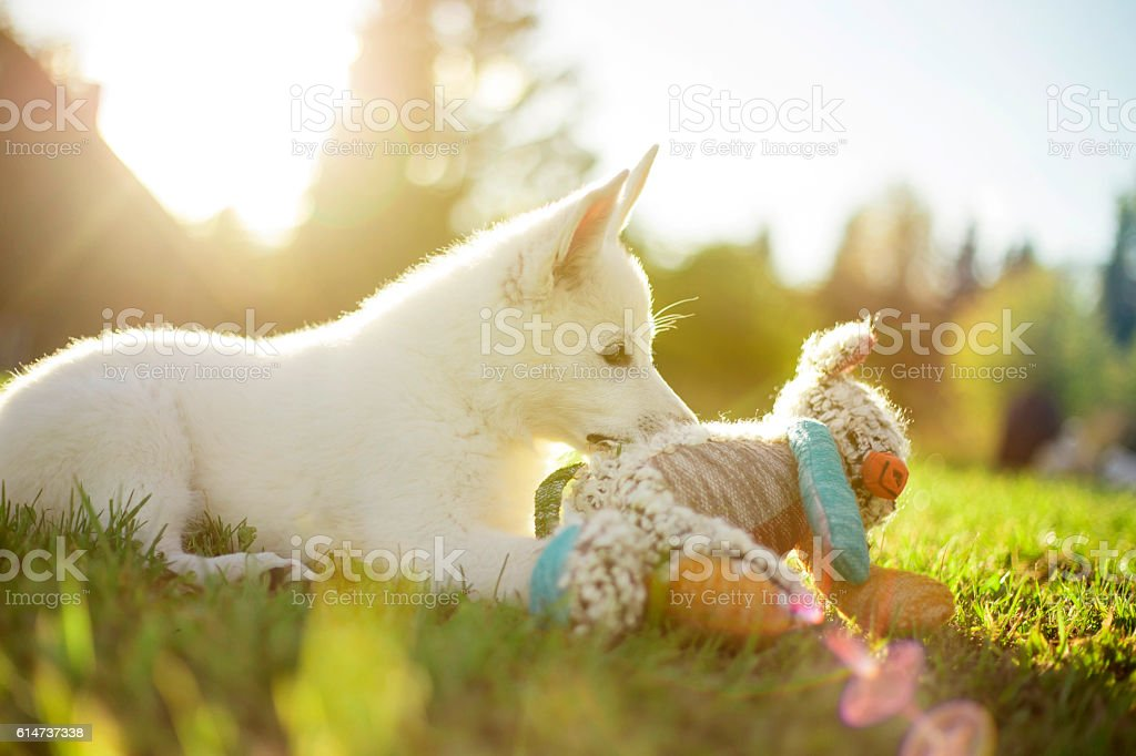 Dog playing with a toy stock photo