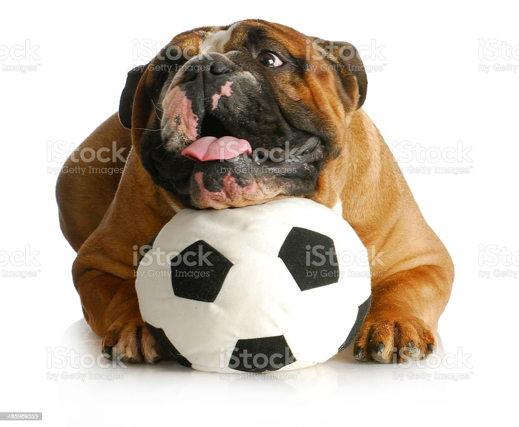 dog playing with ball royalty-free stock photo