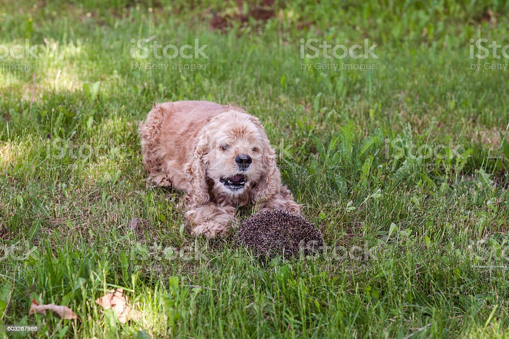 Dog playing with curled up hedgehog stock photo