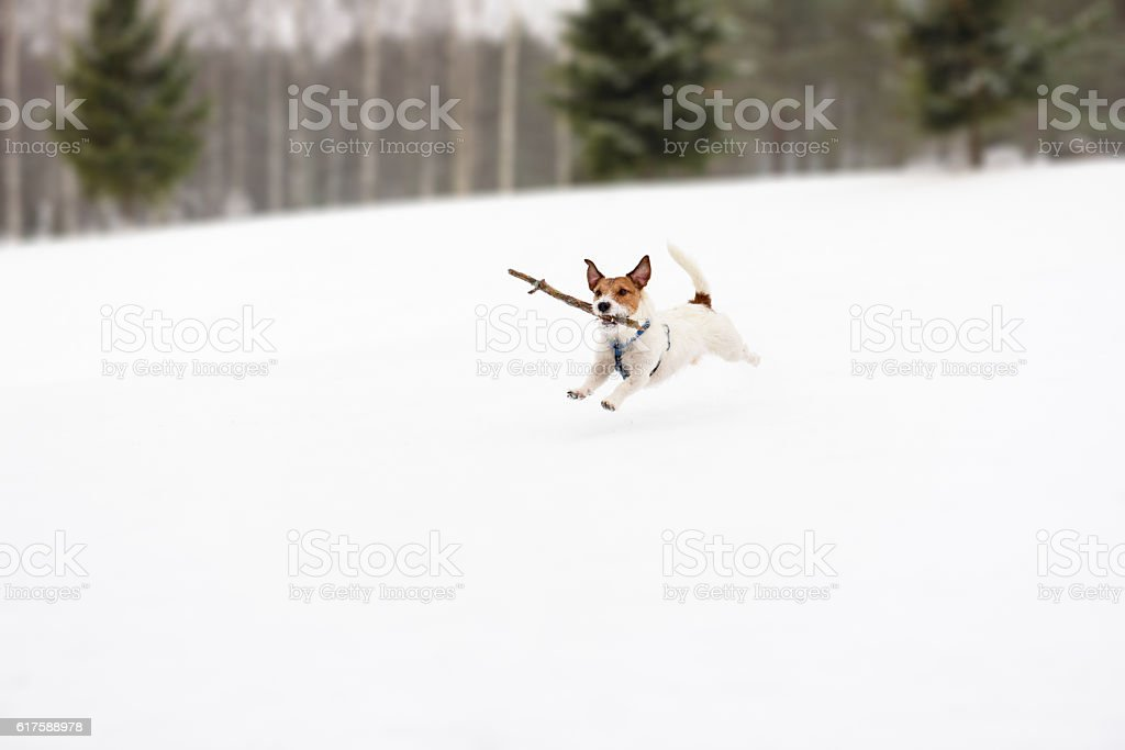 Dog playing with toy on winter snowy golf field stock photo