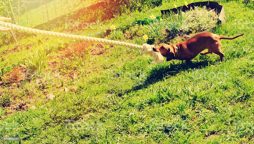 Dog plays with a rope on a green lawn stock photo