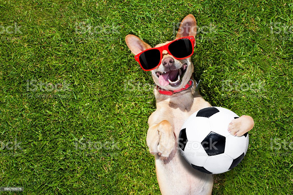 dog plays with soccer ball stock photo