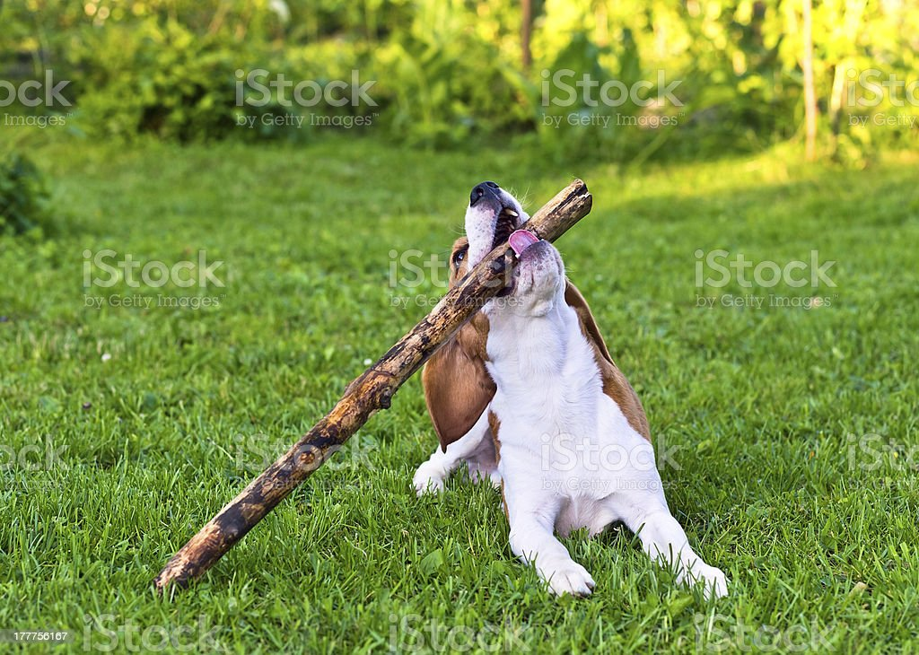 dog plays with  stick royalty-free stock photo