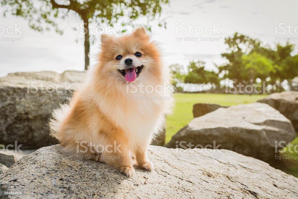 dog pomeranian spitz smiling stock photo