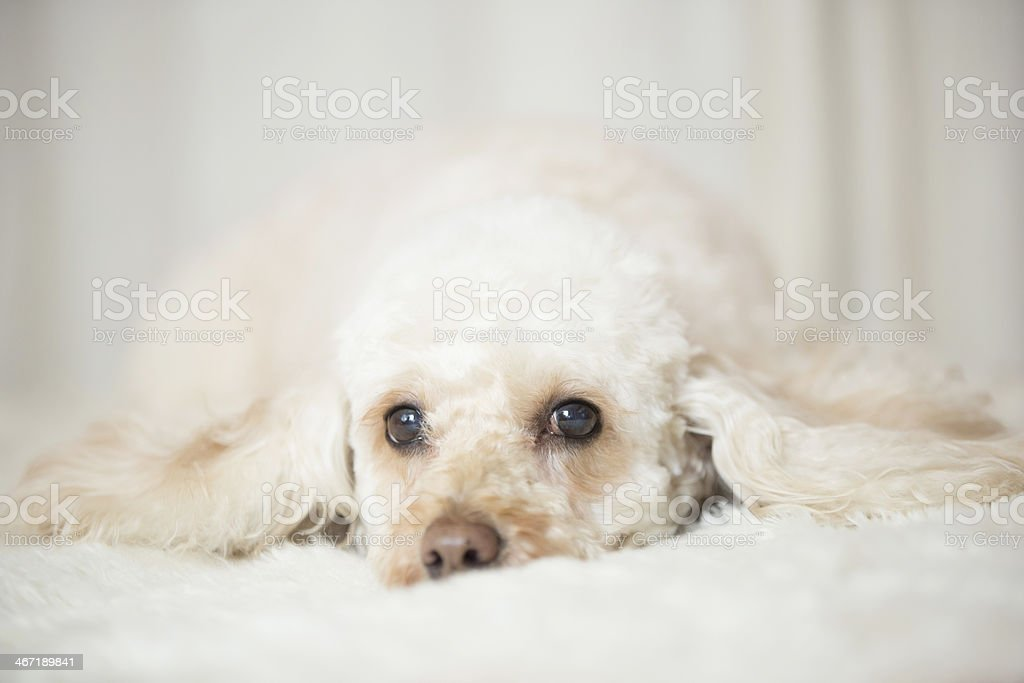 Dog Poodle sitting wearing a black bow tie royalty-free stock photo