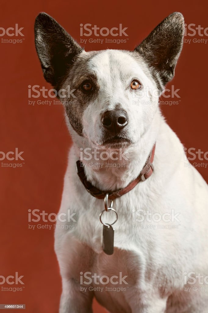 Dog Portrait - Alert Cattle Dog Closeup Head & Shoulders stock photo
