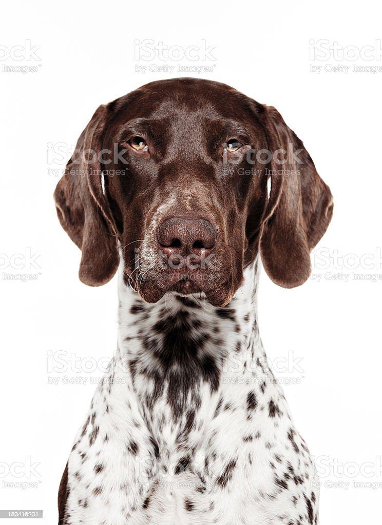 Dog Portrait - German short-haired pointer stock photo