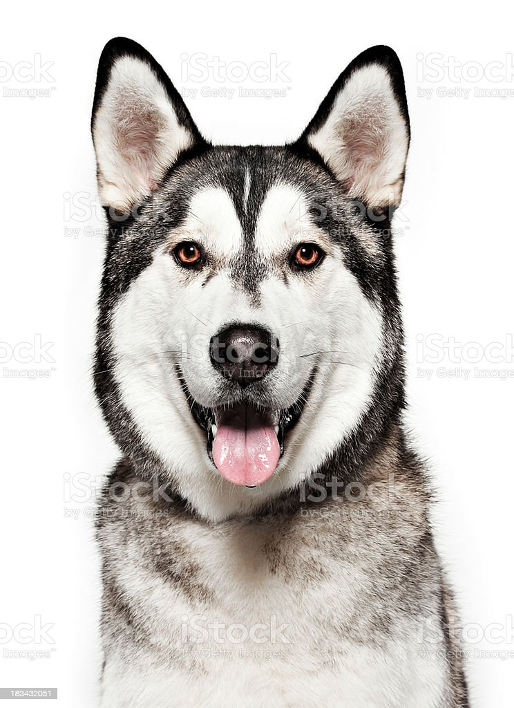 Dog Portrait - Husky stock photo