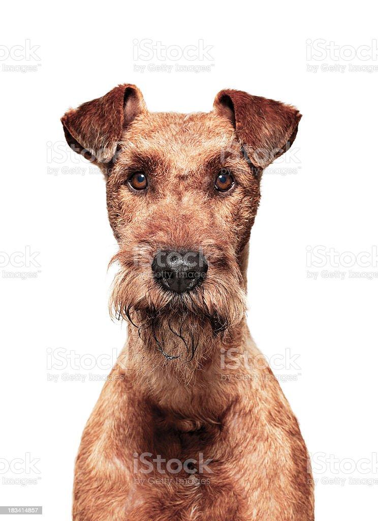 Dog Portrait - Irish Terrier royalty-free stock photo