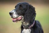 Dog Portrait of a english setter