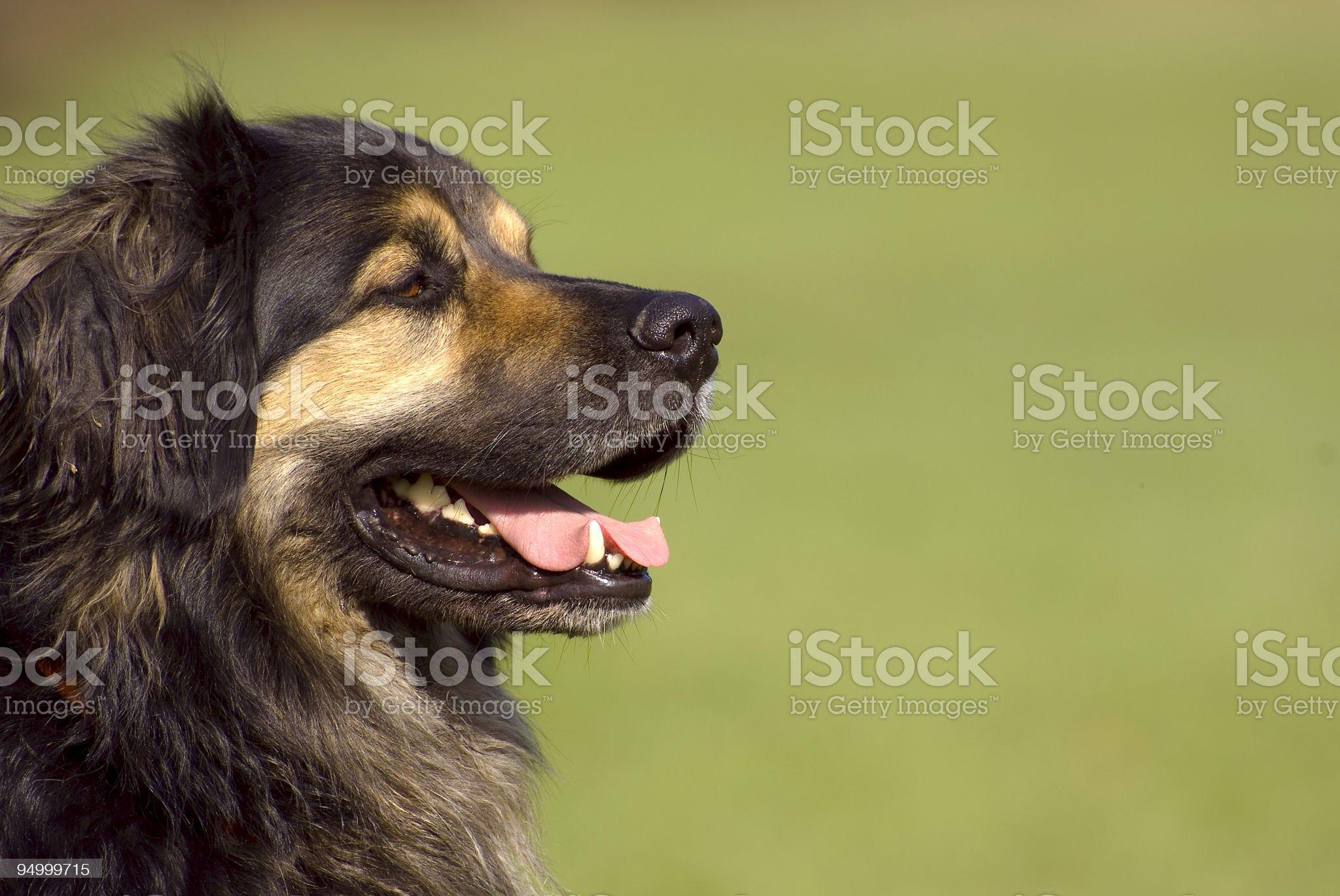 dog portrait royalty-free stock photo