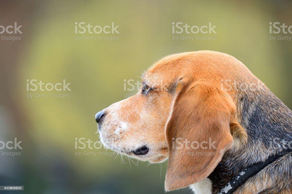 Dog portrait, profile stock photo