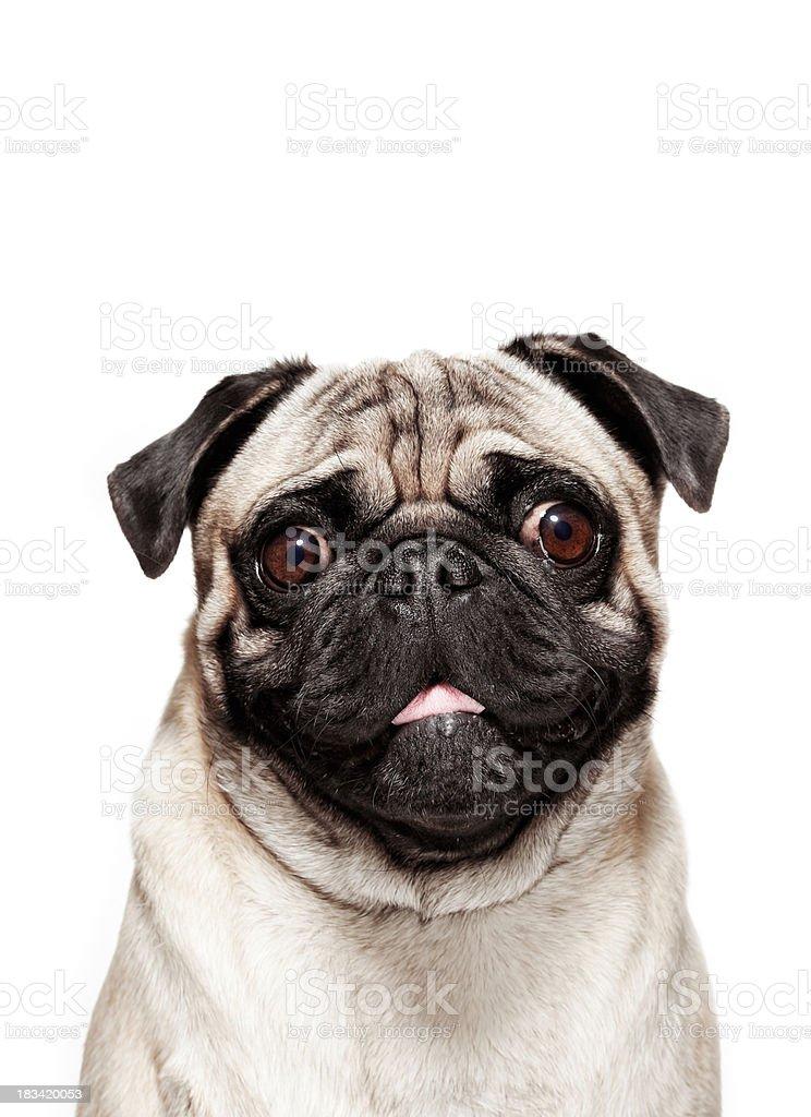 Dog Portrait - Pug stock photo