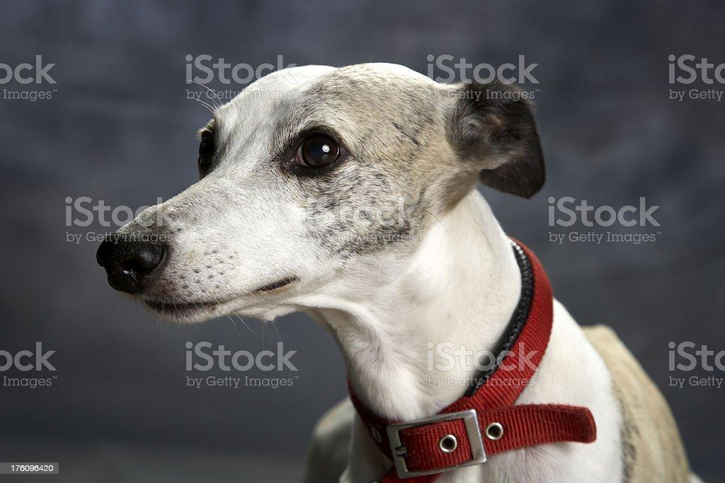 Dog portrait: whippet royalty-free stock photo