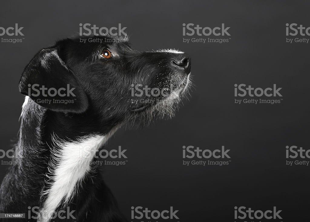 Dog Portrait-Copy Space royalty-free stock photo
