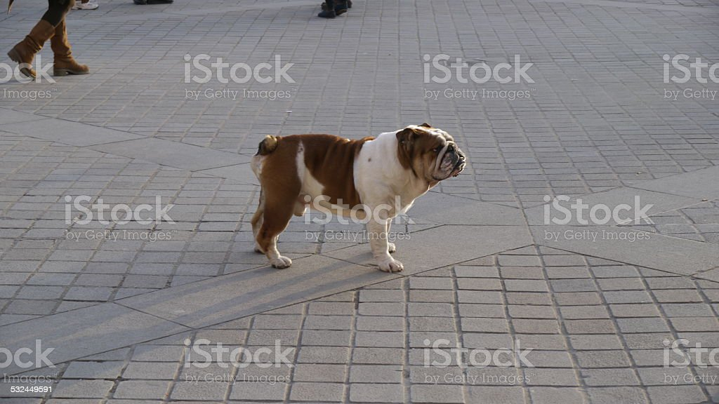 Dog poses on street royalty-free stock photo