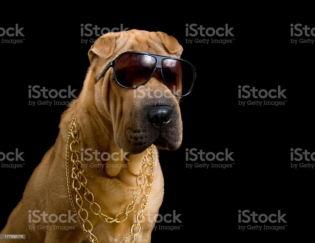 dog pound gangster in gold chains royalty-free stock photo