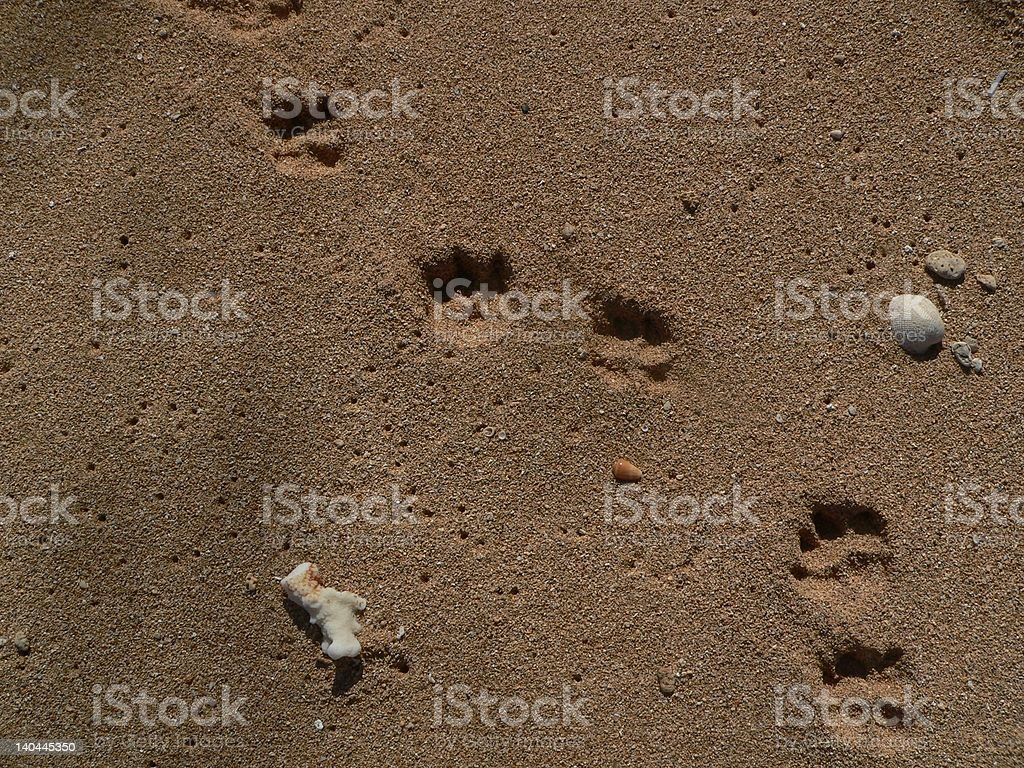 Dog prints on beach sand royalty-free stock photo