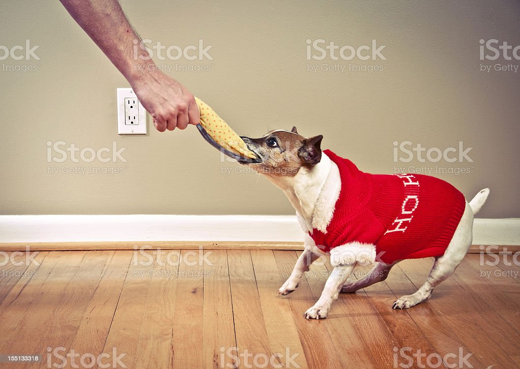 Dog pulling toy from man's hand royalty-free stock photo