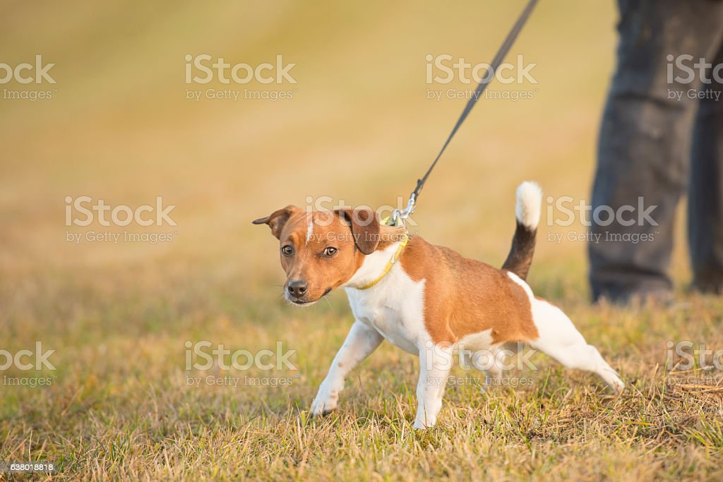 Dog pulls on leash - jack russell terrier stock photo