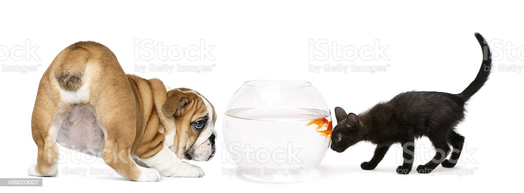 Dog Puppy and kitten looking at a goldfish stock photo