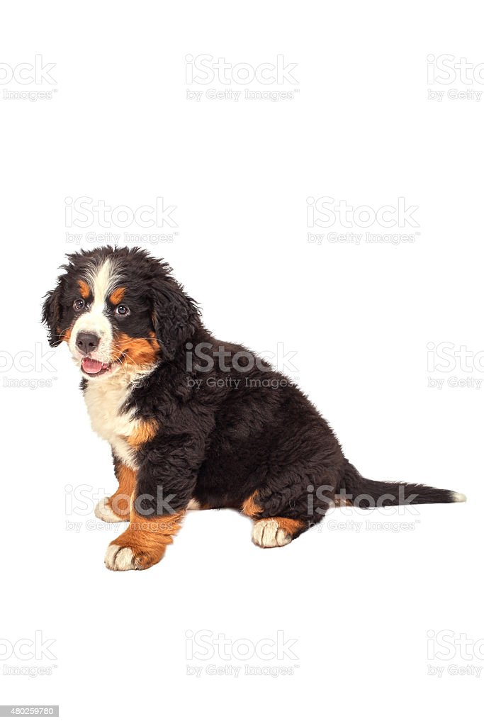 dog puppy sitting stock photo