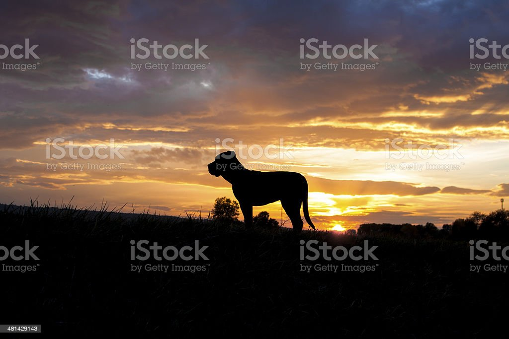 Cane corso in sunset stock photo