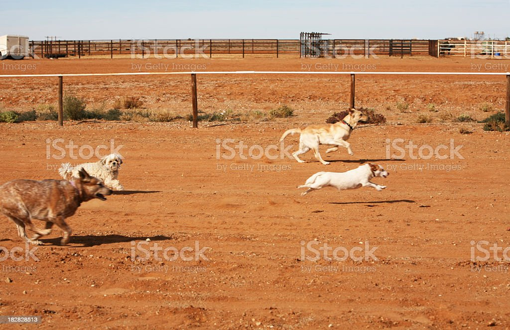 Dog races stock photo