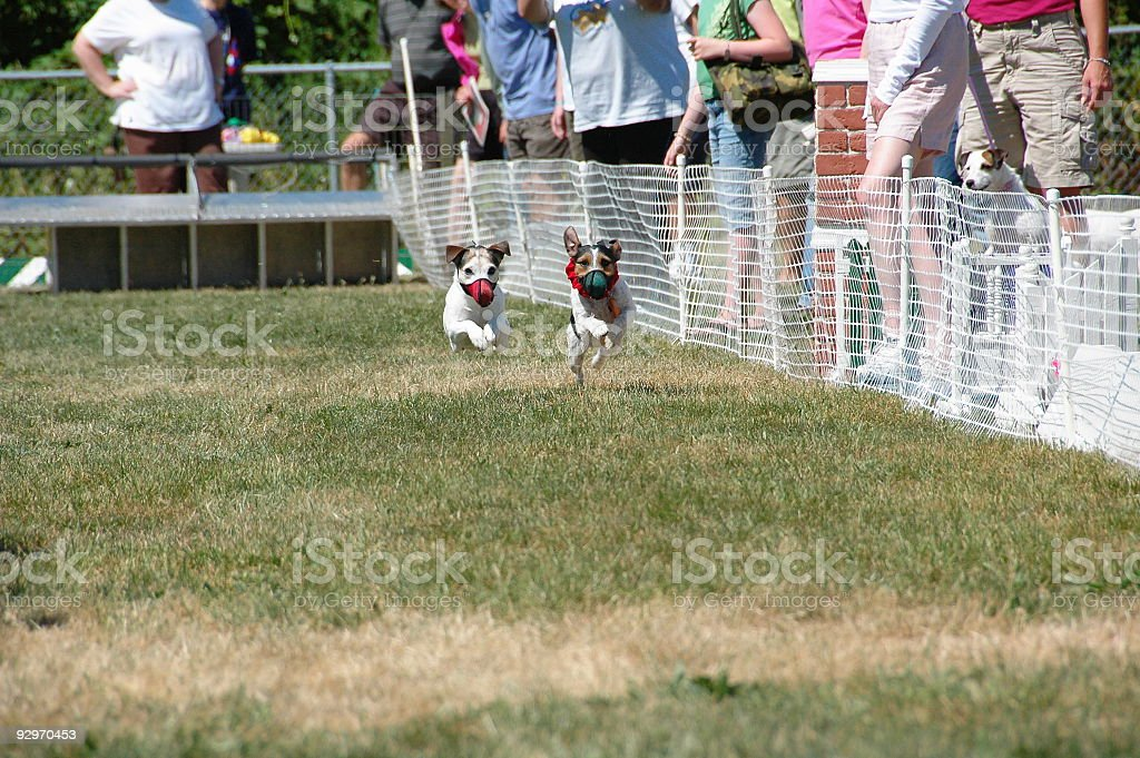 Dog Racing stock photo