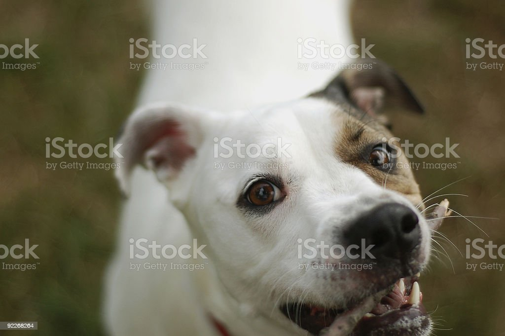 dog reaching for stick stock photo