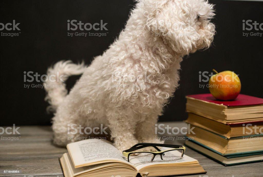 Dog reading book isolated on white background stock photo