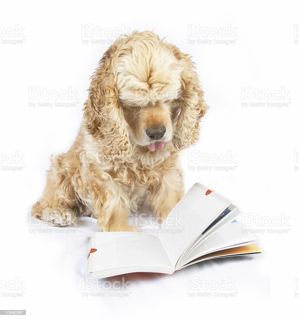 Dog reading book, with the tip of tongue out royalty-free stock photo