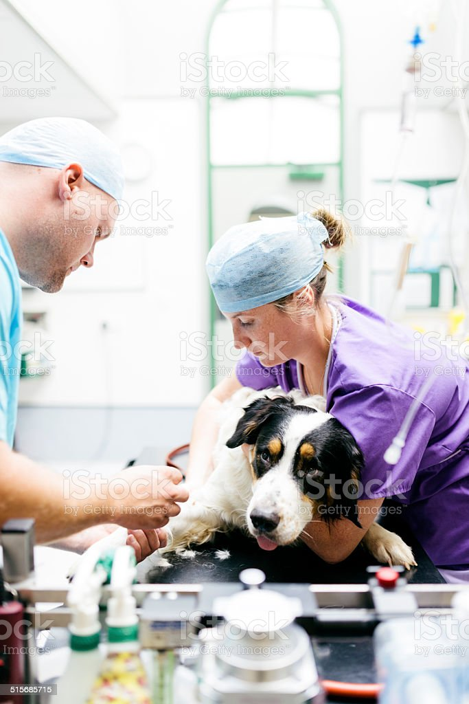 Dog receiving anaesthetic stock photo