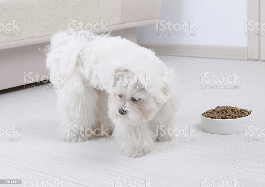Dog refusing to eat dry food stock photo