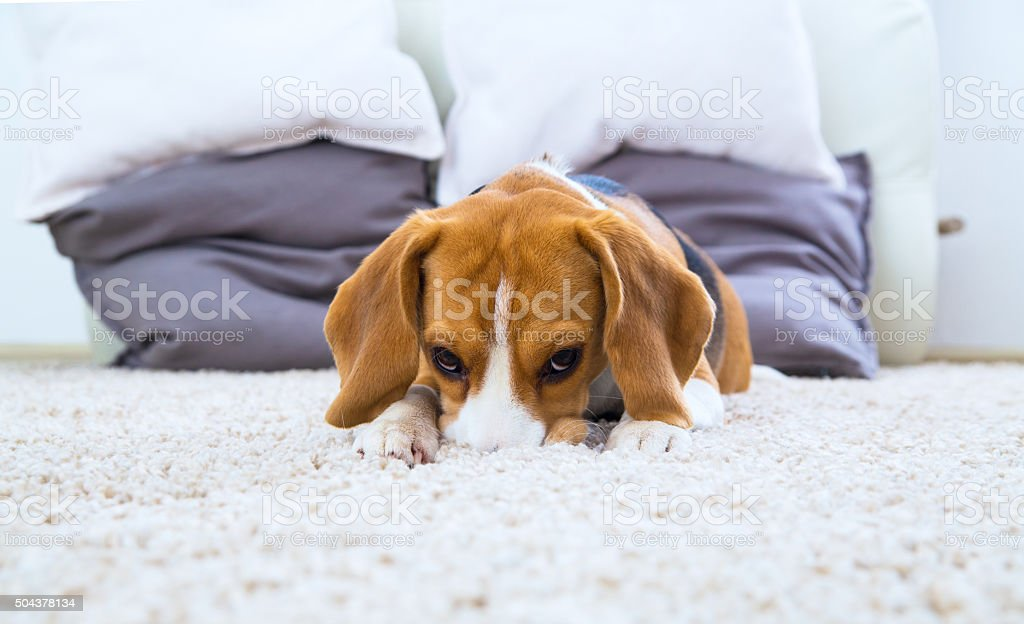 Dog relaxing on the carpet stock photo