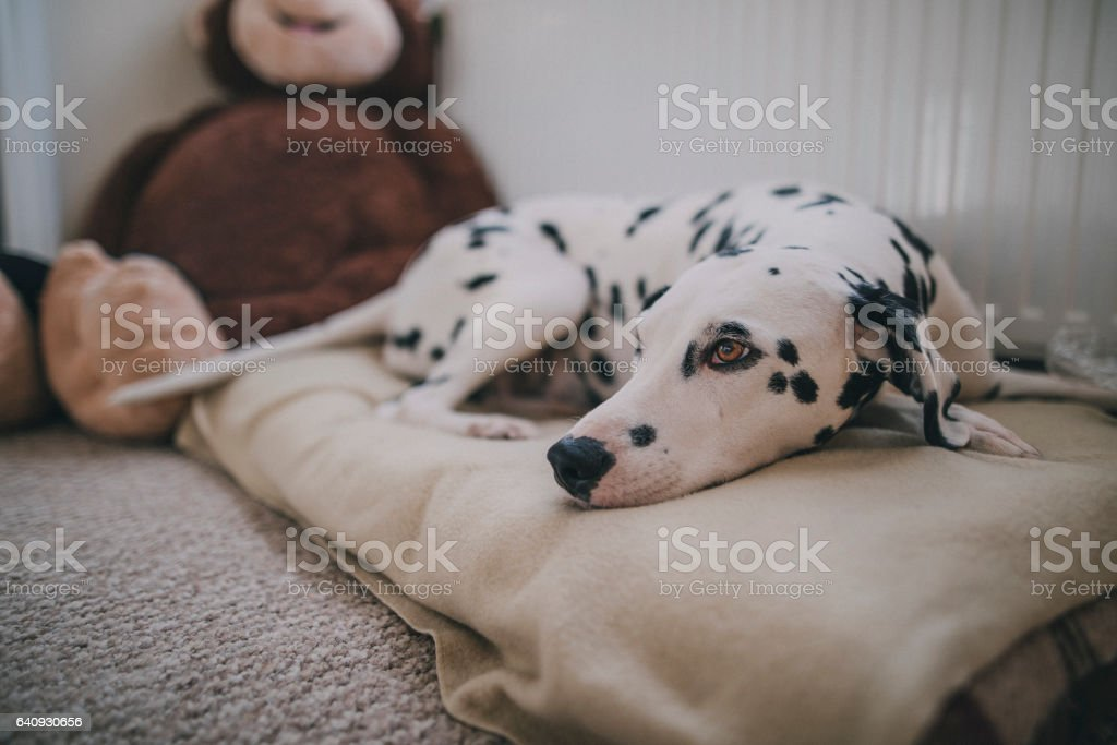 Dog Resting in Bed stock photo
