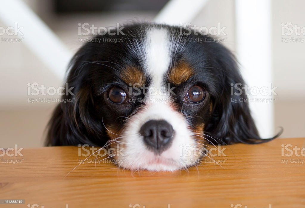 A dog resting its head on a wooden surface stock photo