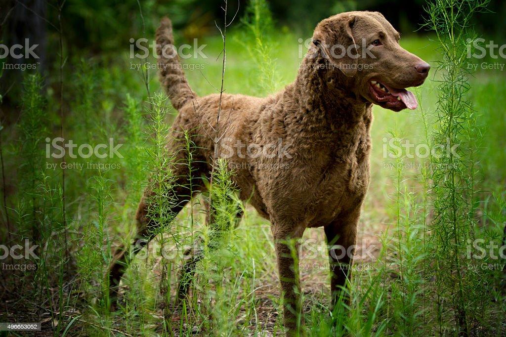 Dog: Retriever - Chesapeake Bay Retriever stock photo