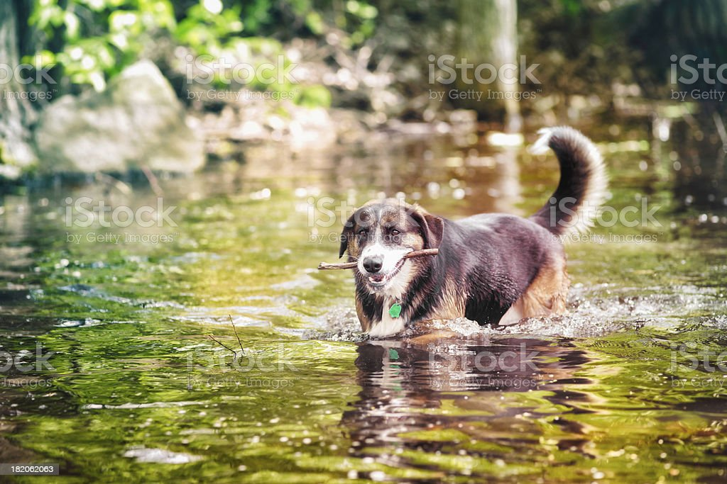 Dog retrieving a branch in river stock photo