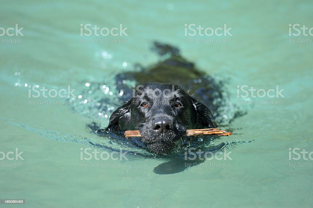 Dog retrieving a stick in aquamarine water royalty-free stock photo
