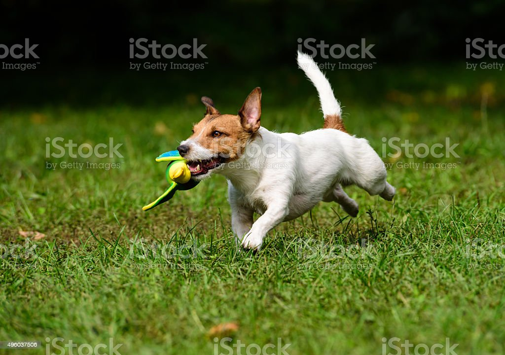 Dog retrieving a toy duck. stock photo