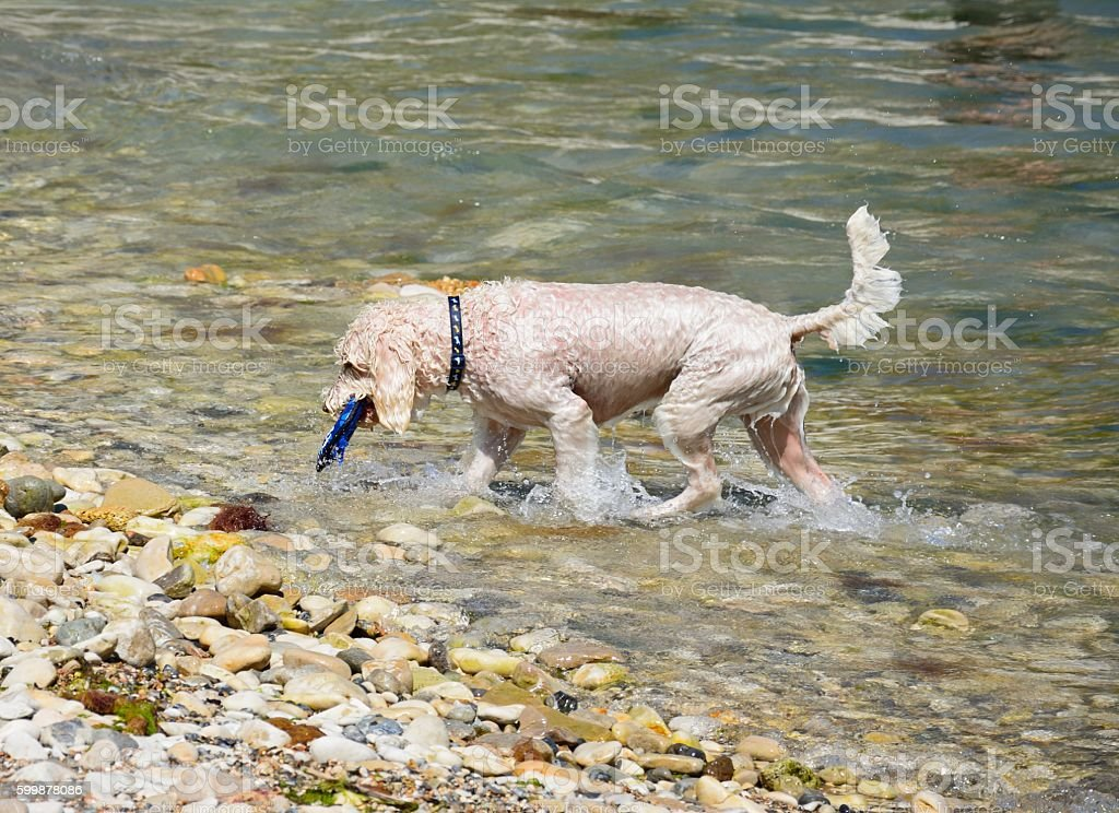 Dog retrieving his toy from the sea, Lulworth Cove. stock photo