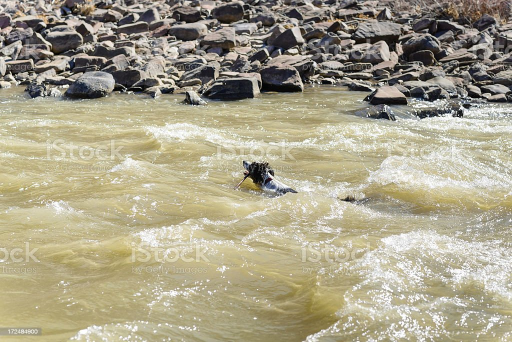 Dog Retrieving Stick in RIver Rapids royalty-free stock photo