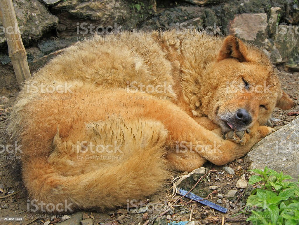 dog rolled into a ball and have slept stock photo