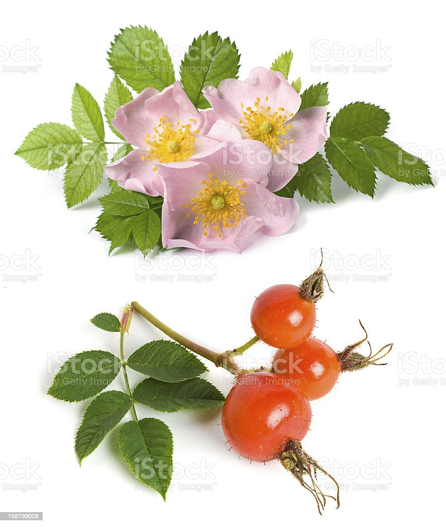 Dog rose flower and fruits royalty-free stock photo