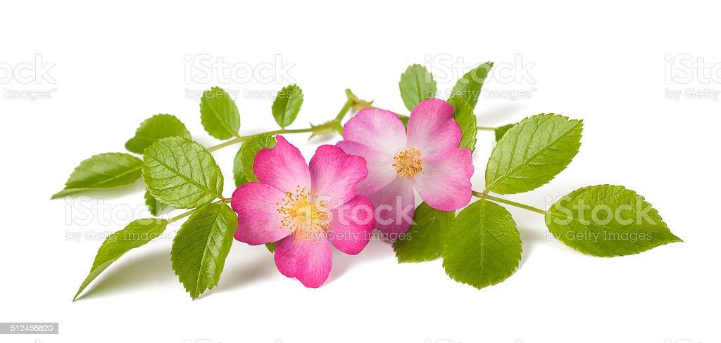 Dog rose stock photo