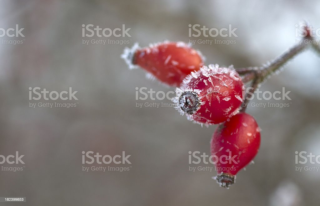 Dog rose [Rosa canina] frozen  in winter stock photo
