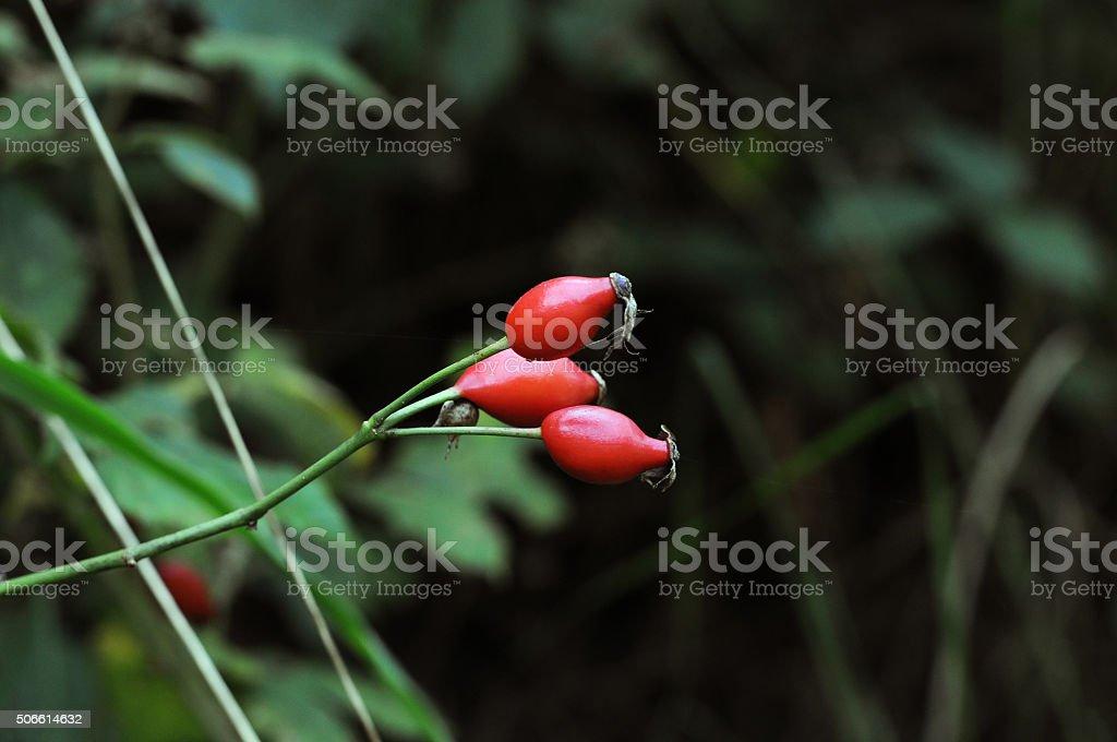 Dog rose [Rosa canina] stock photo