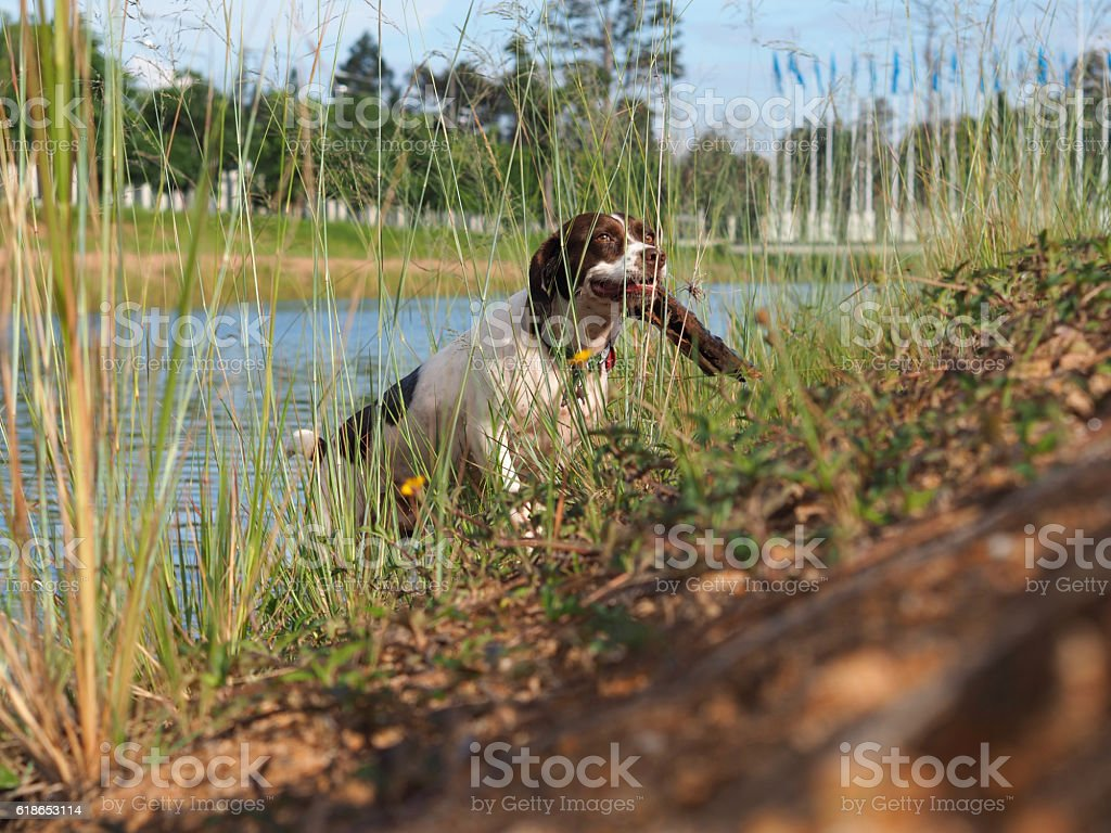 Dog running and carrying a stick stock photo